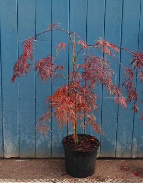 acer-palmatum-dissectum-ever-red-tree-p845-7502_medium